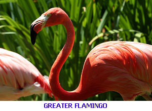 Greater Flamingo - Algarve