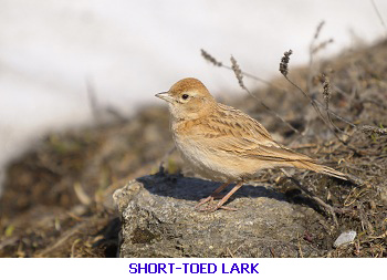Short toed lark - eastern Algarve