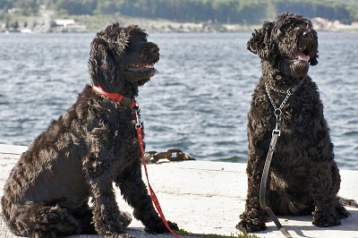 Portuguese waterdogs in the Algarve