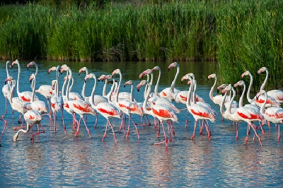 Ria Formosa Greater Flamingos