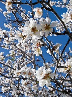 Almond blossom Algarve Portugal