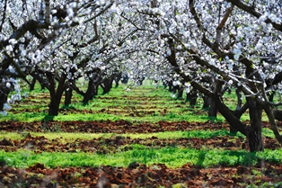 Almond trees Algarve Portugal