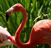 Algarve Bird Watching Greater Flamingo