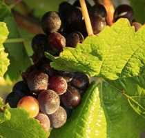 Algarve grapes and vines