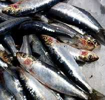 Fresh Algarve Sardines