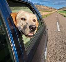 Dog not paying attention while driving