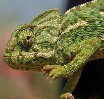 Chameleon in the Ria Formosa